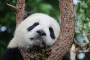 CBN Panda
